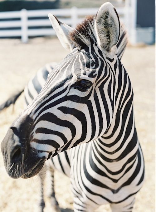Caroline-tran-saddlerock-ranch-zebra-wedding